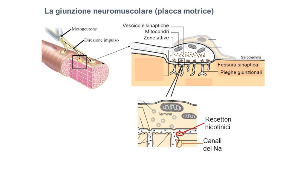 Giunzione neuromuscolare|Personal Trainer Taranto|Lanza Personal Trainer