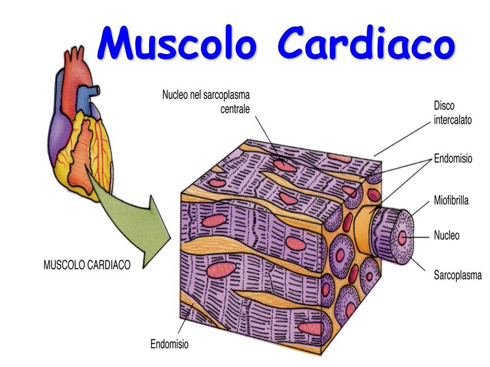 TESSUTO muscolare cardiaco|Personal Trainer Taranto|Lanza Personal Trainer