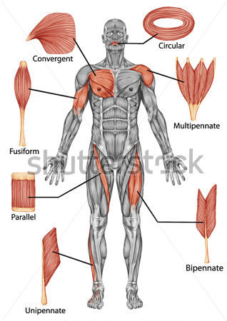 anatomy|of-male|muscular|system|posterior|view|of|type|muscle|fullbody|Personal Trainer Tranto|Lanza Personal Trainer